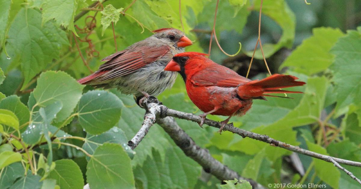 two northern cardinals in tree
