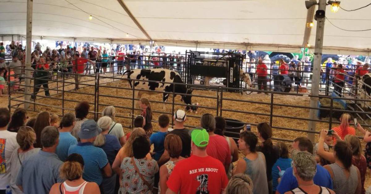 cow exhibit under tent at a county fair