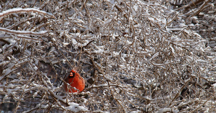 a red cardinal in a bush covered with snow and ice
