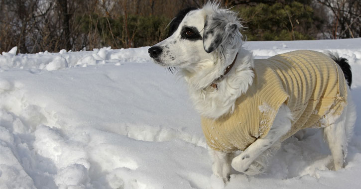 a small white and black dog with a beige sweater on in the snow
