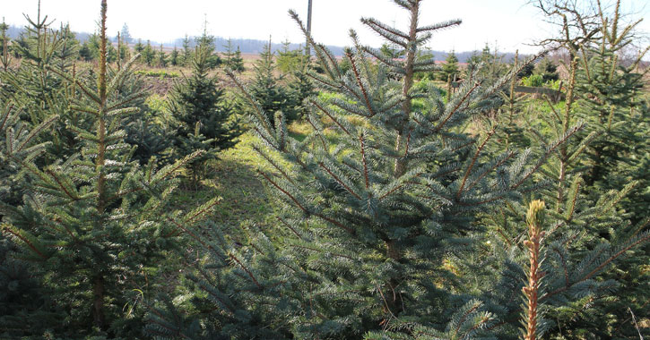 a bunch of Christmas trees on a Christmas tree farm