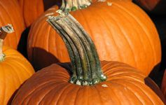 300px-pumpkin_stem.jpg