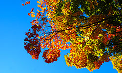 view of colorful leaves on tree from the ground