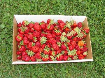 strawberry- flat.jpg