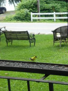 goldfinch on the feeder at goodtimes.jpg