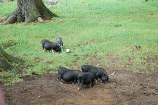 potbellied pigs.jpg