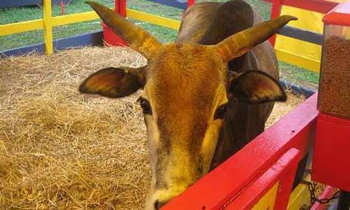 Saratoga County Fair petting zoo