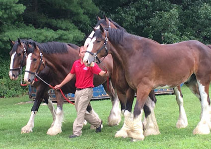 clydesdales-in-saratoga.jpg