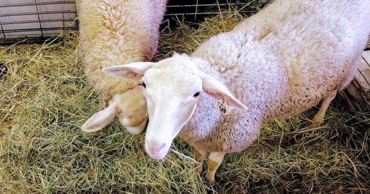 a sheep exhibit at the fair