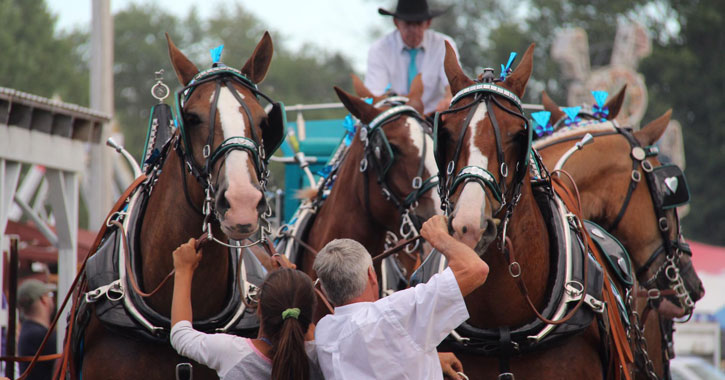 several draft horses, people adjusting their equipment