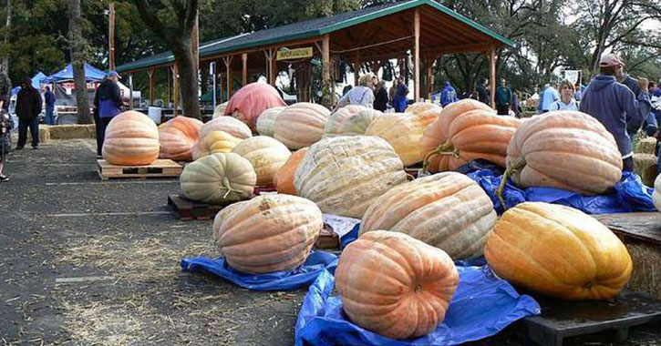 large group of pumpkins