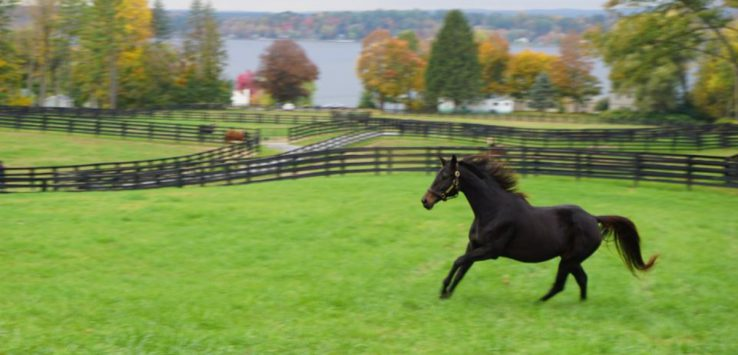 a dark colored horse running across a grassy field