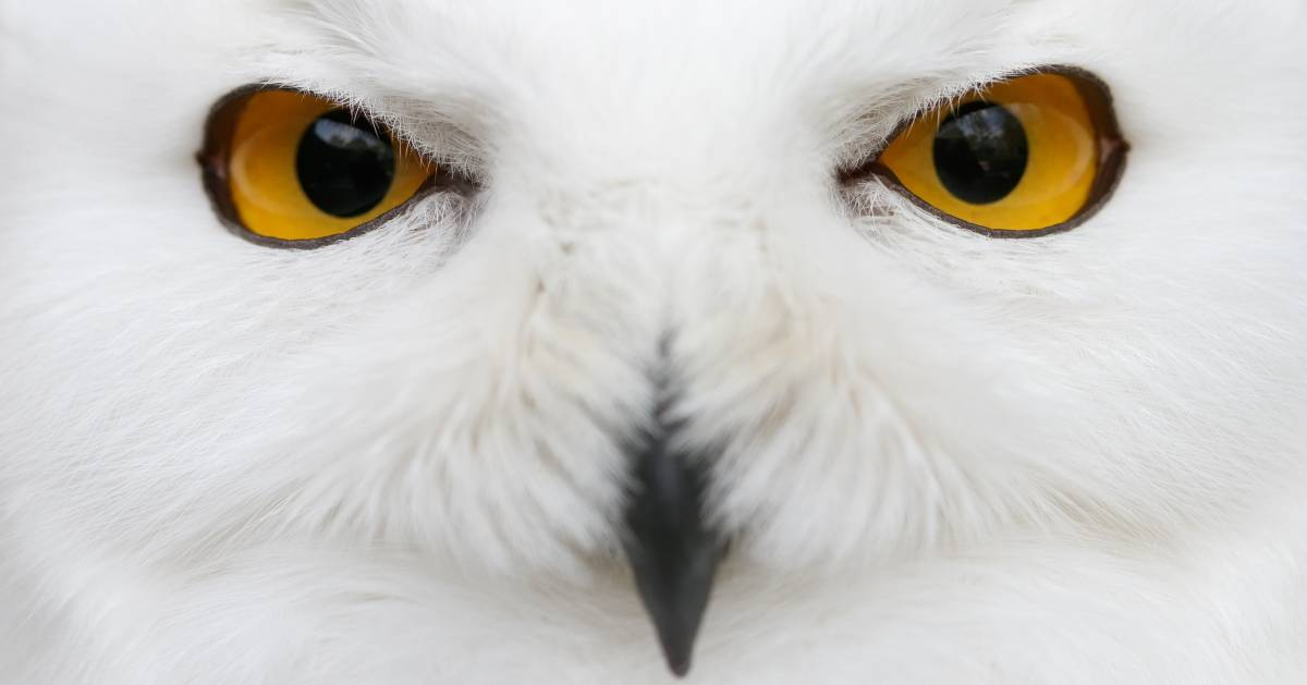 close up of snowy owl