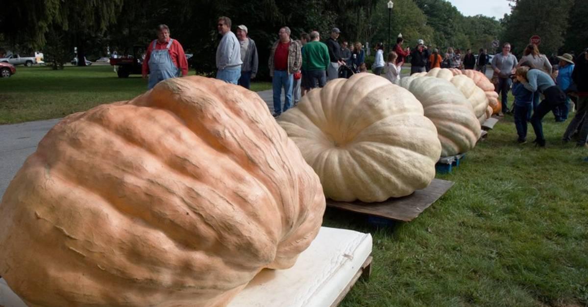 lineup of giant pumpkins outdoors